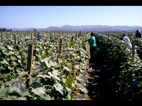 Gleaning cucumbers on OC Produce Farm Land