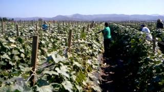 Gleaning cucumbers on OC Produce Farm Land