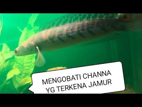 Mengatasi Channa Maru Yellow Sentarum Terkena Jamur Part 2 Youtube