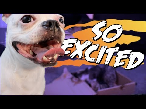 Boston Terrier dog is TOO EXCITED!!!!