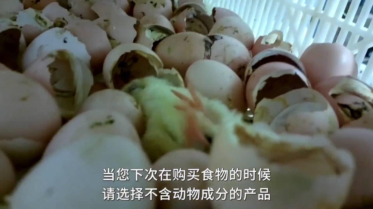 美國雞肉供應商活活碾碎小雞,產品銷往中國 PETA Asia