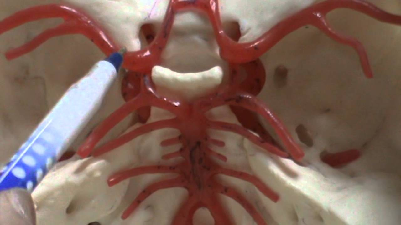 Blood Supply Of The Braincircle Of Willis Youtube