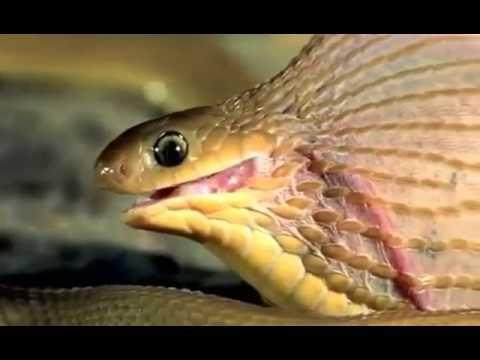 Serpente cobra che mangia un uovo youtube - Serpente collegare i punti ...