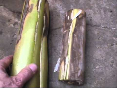 Storing Banana Plants In Cellar For Winter Youtube