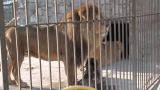 Лев рычит (Симферопольский зоопарк)