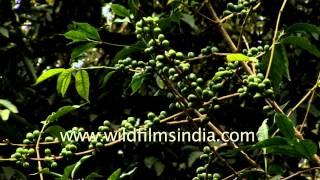 Kerala Spice trail: Coffee plantations