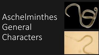 A pseudocoelomate a test számára tervezett aschelminthes