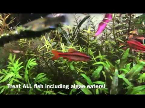 How To Treat Ich (white Spots) In Aquarium Fish: Life Cycle And Methylene Blue