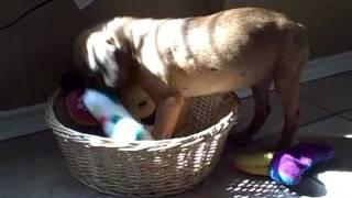 Zeus - San Antonio Humane Society Puppy
