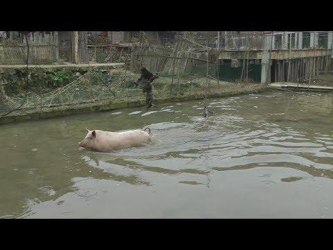 过年杀猪,结果猪跑田里去洗澡了,几个庄稼汉费劲曲折才把它擒住
