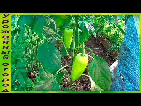 КАК ПРАВИЛЬНО ФОРМИРОВАТЬ ПЕРЕЦ!!!УХОД И ПОДКОРМКИ!!! | формировать | выращивание | формировка | урожайный | подкормки | рассада | урожай | перцем | огород | перца