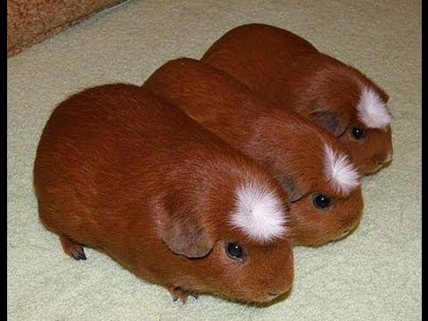 породистые морские свинки купить нас очереди обсуждение