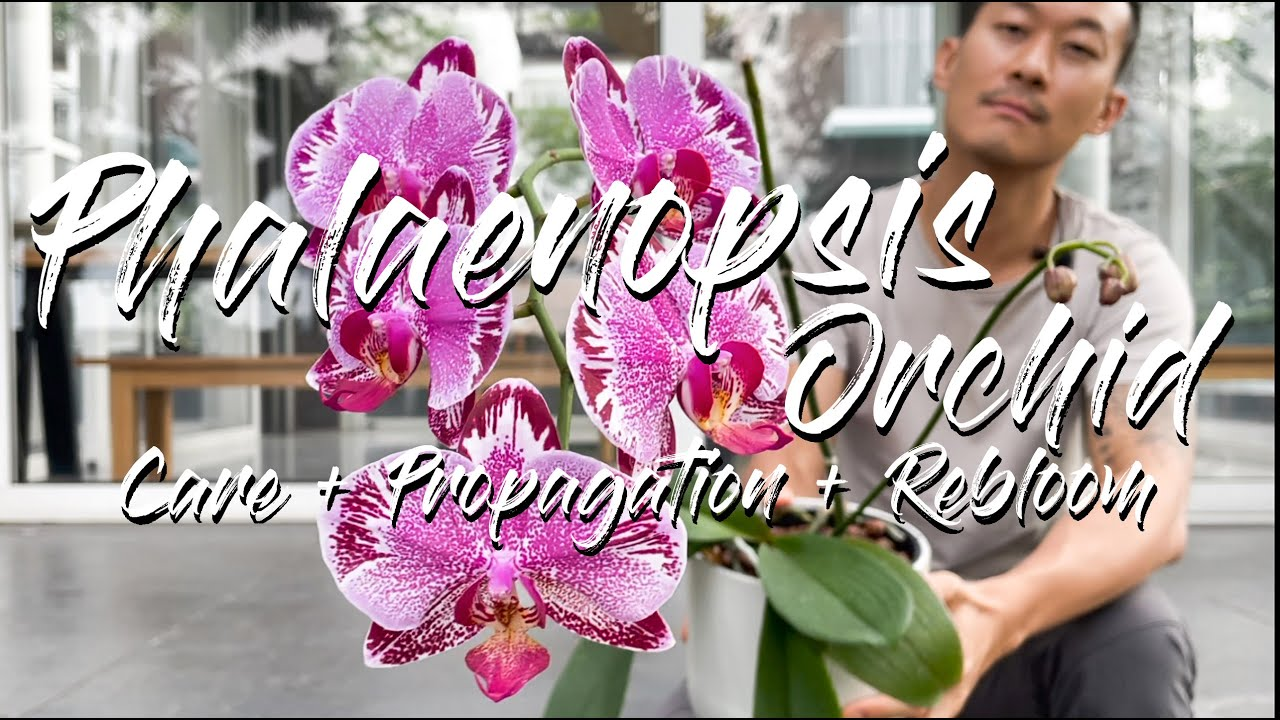 Download Phalaenopsis Orchid care, propagation, and rebloom