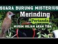 Burung Malam Hari Selain Burung Hantu Bikin Merinding Scary Nightbird Chirping  Mp3 - Mp4 Download