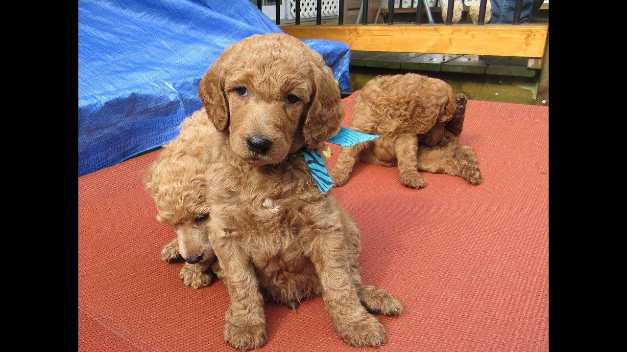 Red Apricot And Cream Standard Poodle Puppies Youtube