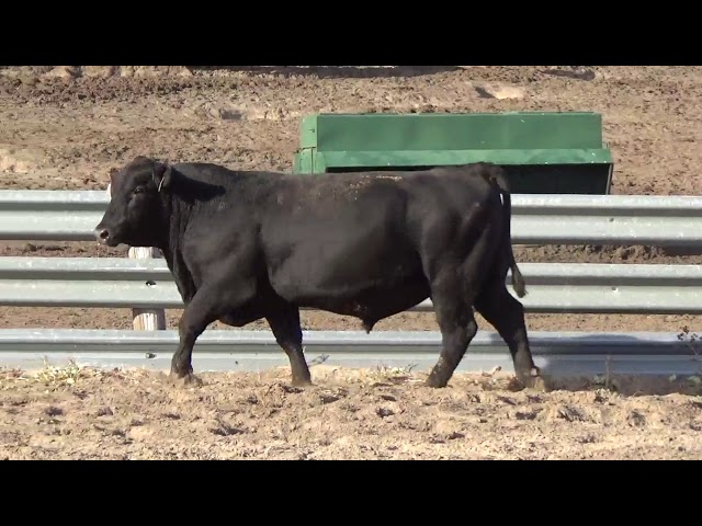 Connealy Angus Lot 244