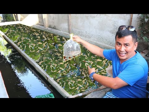 HOW TO PRODUCE 1000 BABY GUPPIES Every Week