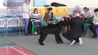 Ризеншнауцер, видео с выставки собак в Великом Новгороде