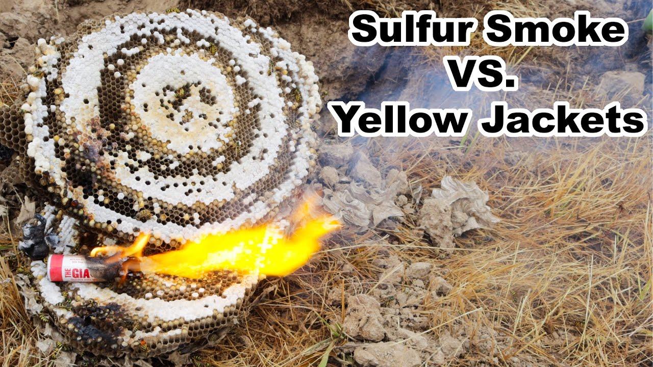 Sulfur Smoke vs. Yellow Jacket Hornet Nest. Mousetrap Monday.