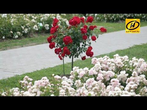 Роза - королева цветов в ботаническом саду, Минск