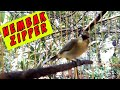 Pleci Nembak Zipper Sangat Cocok Buat Pancingan Pleci Dan Masteran Agar Cepat Nembak  Mp3 - Mp4 Download