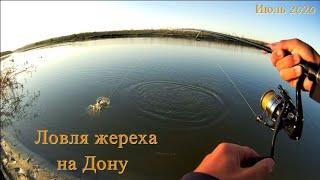 Ловля жереха на Дону в середине лета Утренний клёв хищной рыбы на спиннинг с берега