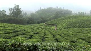 Rolling hills and tea gardens in Munnar