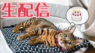 【生配信2/7】今日はパパさん誕生日なので猫達とオメデトーしてあげてくれませんか?生配信
