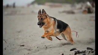 Pastor Alemán Vs Dogo Argentino Peleas De Perros Youtube