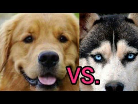 SMART DOGS : Golden Retriever vs. Siberian Husky | Funny Animal Video