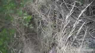 Котенок дикой кошки в лесу, Дикий котенок, Коты в Австралии