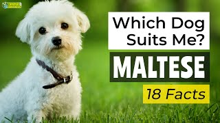Is a Maltese the Right Dog Breed for Me? 18 Facts About Maltese Dogs!