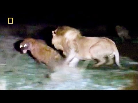 Animal Documentary National  Geographic - APEX PREDATORS: Lion, Tiger, Cheetah, Hyena & More!