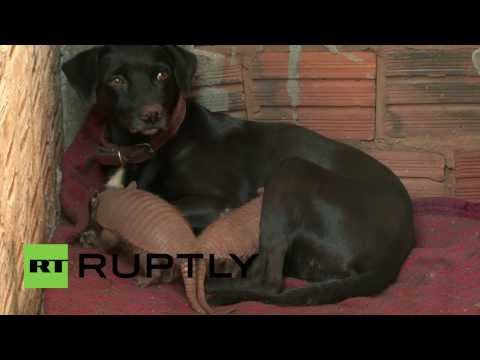 Brazil: Dog adopts armadillo puppies