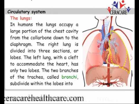 FUNCTION OF CIRCULATORY SYSTEM IN HUMANS