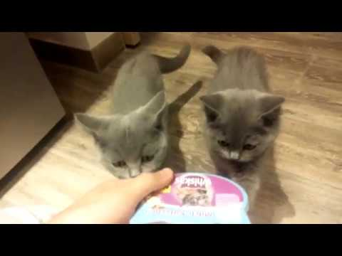 British shorthair kitten running for food