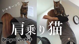 【肩乗り猫】猫じゃらしで遊んでいたら肩乗りベンガル猫が完成しました!【ベンガルロケット♯104】