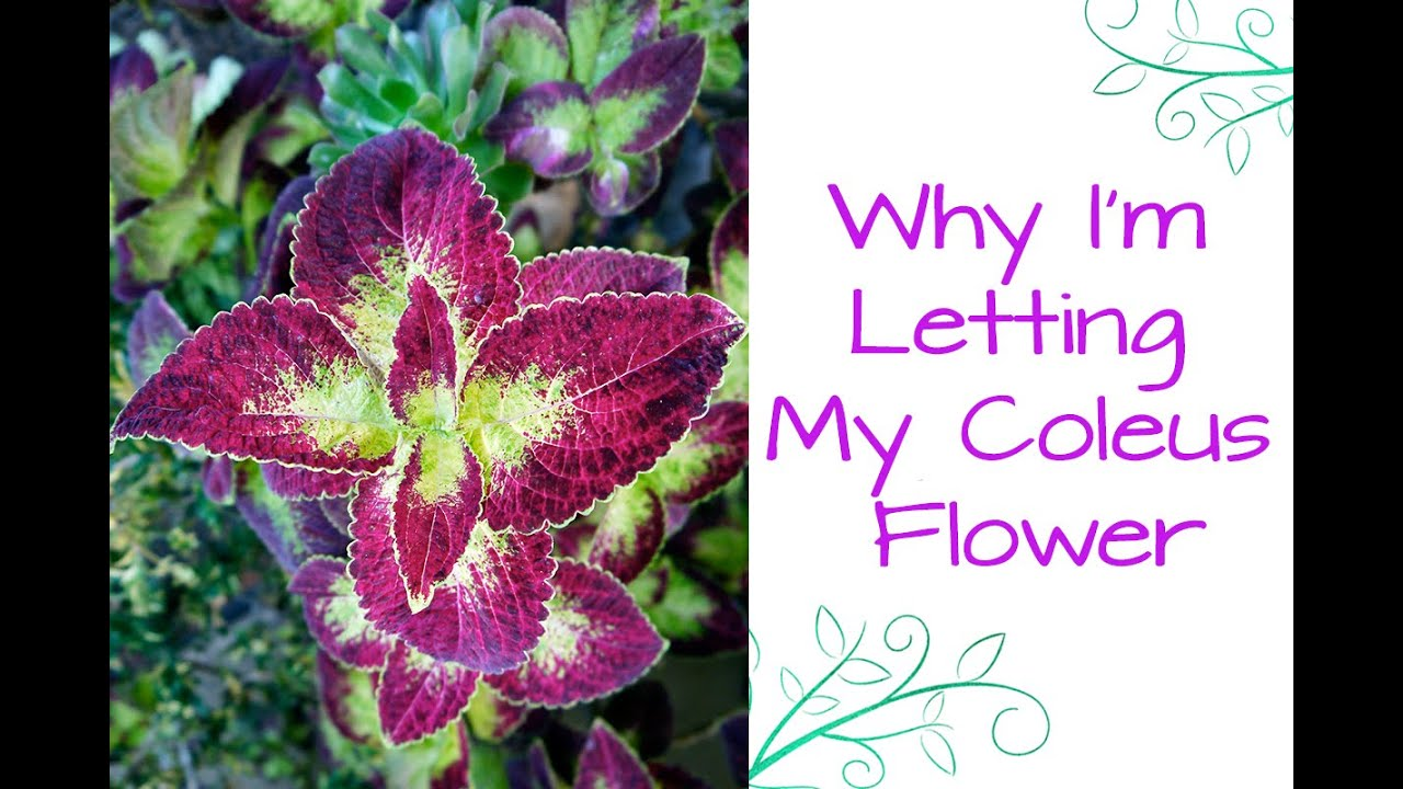 Why I M Letting My Ginormous Coleus Flower Like Crazy This Year