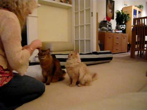 Somali Cats can shake paws too