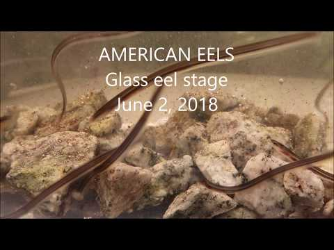 American Eels, Glass eel stage, June 2, 2018
