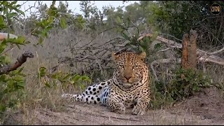 Safari Live : Hukumuri Male Leopard on drive this afternoon with Ralph  May 04, 2018