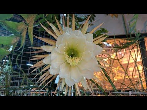 Царица ночи (Селеницереус крупноцветковый). Allvideo