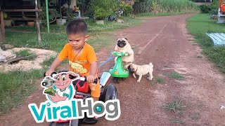 October 9, 2015 - Udon Thani, Thailand The pug puppy wants back on ...
