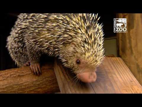 Rico the Brazilian Porcupine - Cincinnati Zoo