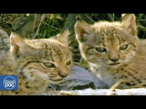Iberian Lynx Documentary | Part 6