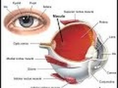 Anatomy And Physiology Of Vision Youtube