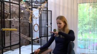 Обучение командам волнистых попугаев. Кликер-тренинг.