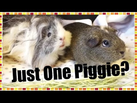 MOST ASKED QUESTIONS: One or More Guinea Pigs?   Squeak Dreams