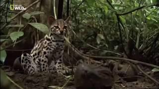 Маргай - красивая длиннохвостая кошка
