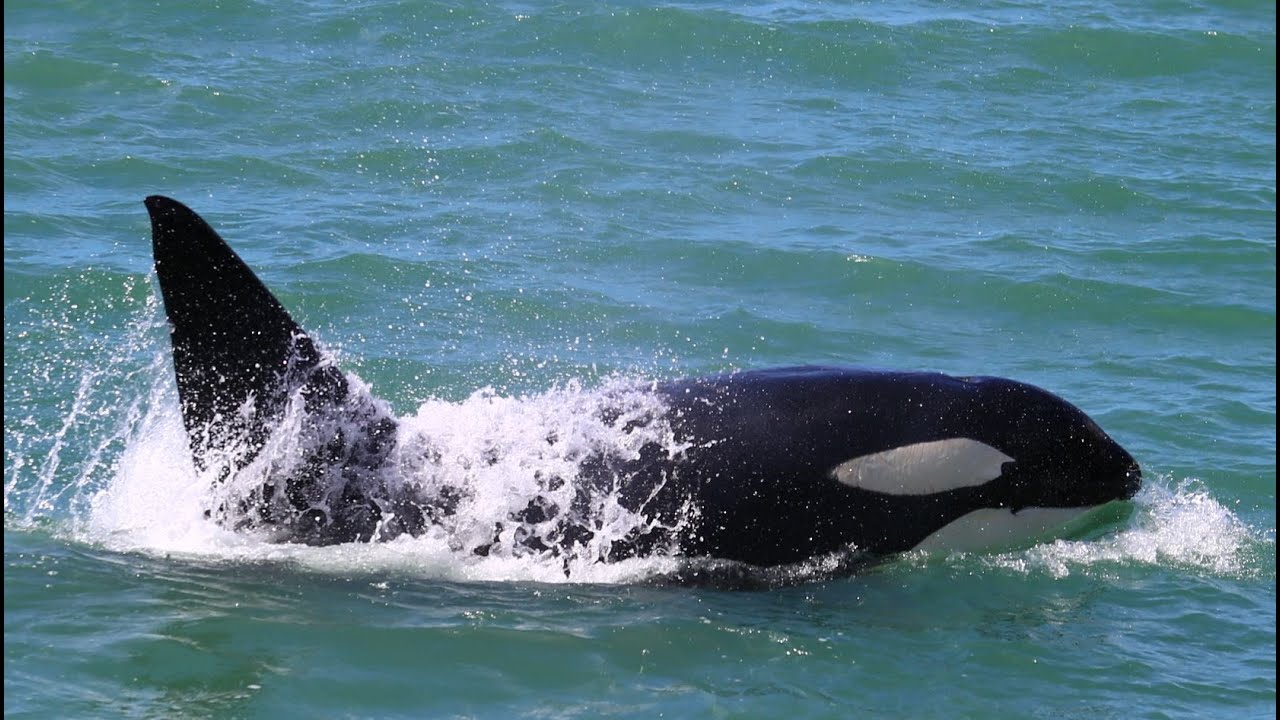 Orca Whales Port Nelson New Zealand